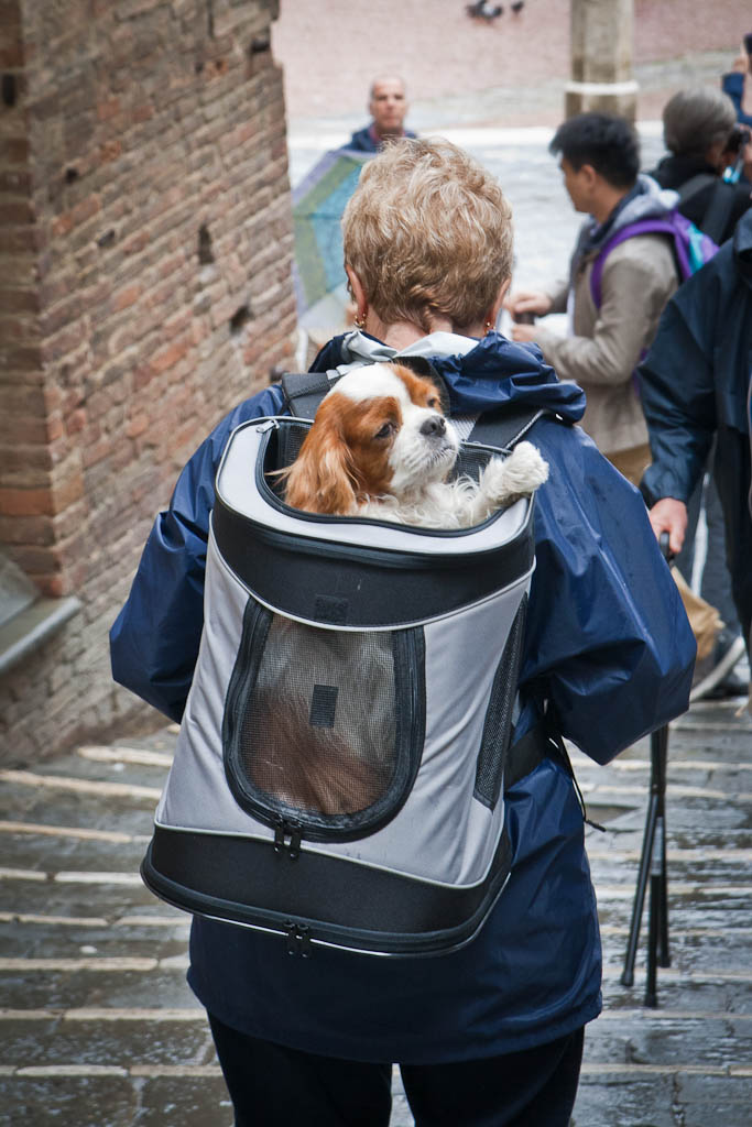 Dog traveling in a backpack in Siena