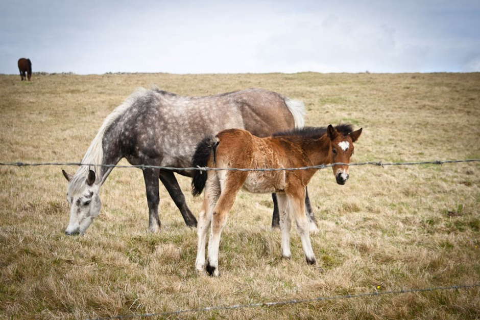 Ireland horses