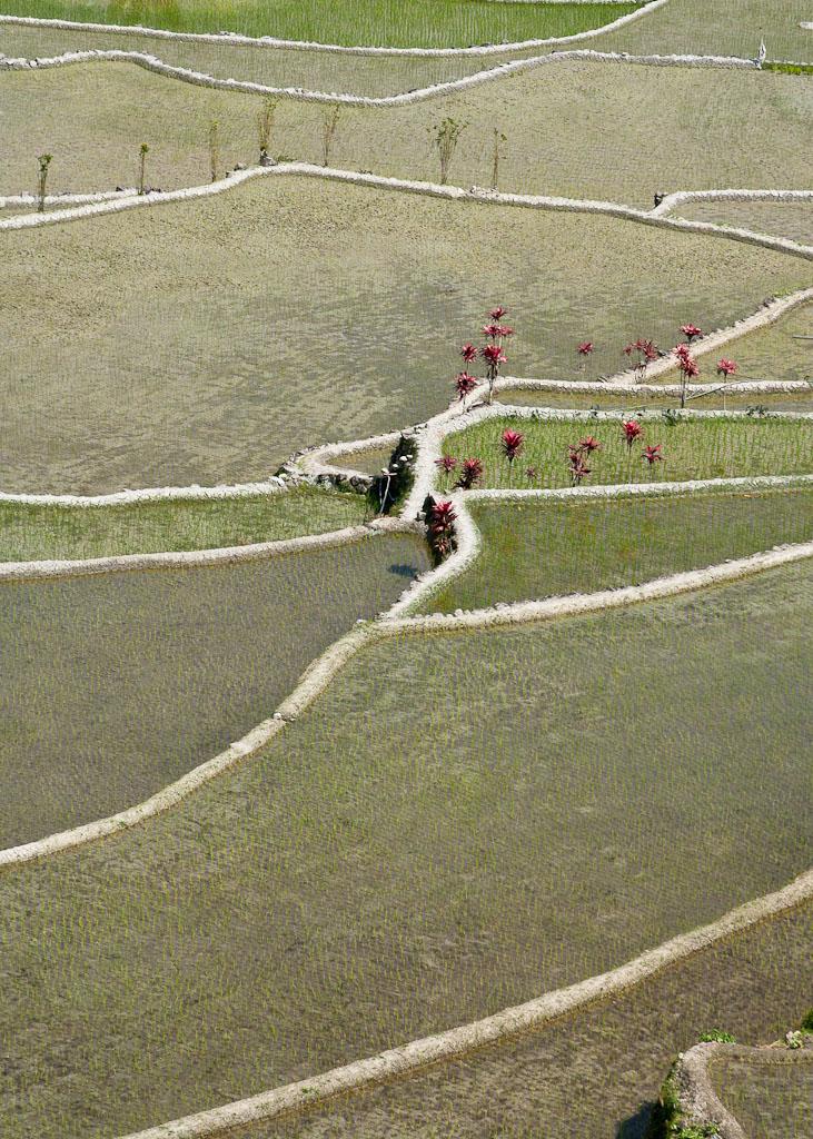 tarasy ryzowe-1944
