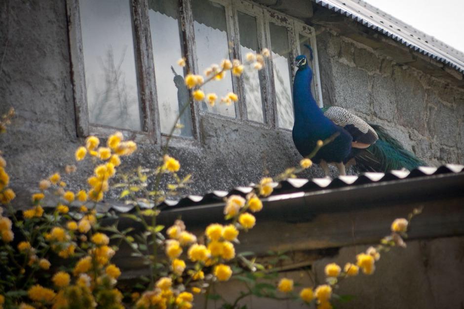 Altamont Garden - peacock