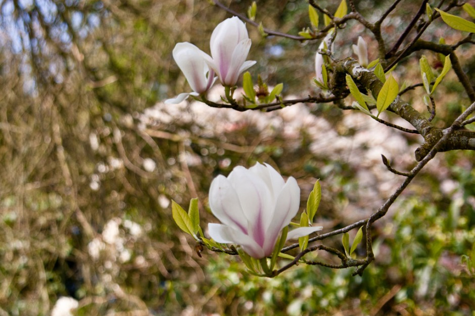 Altamont Garden - magnolias