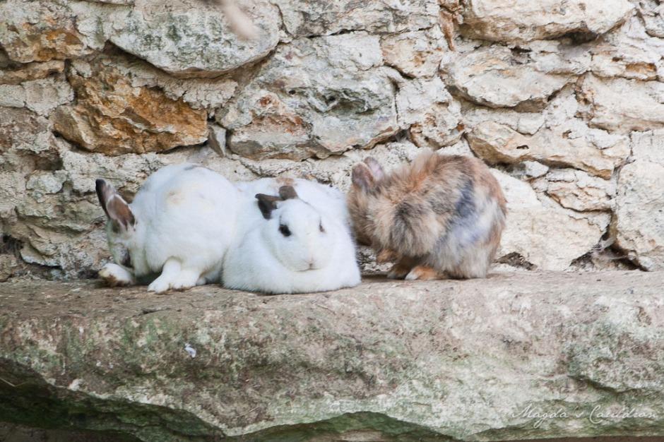 Versaille- bunnies