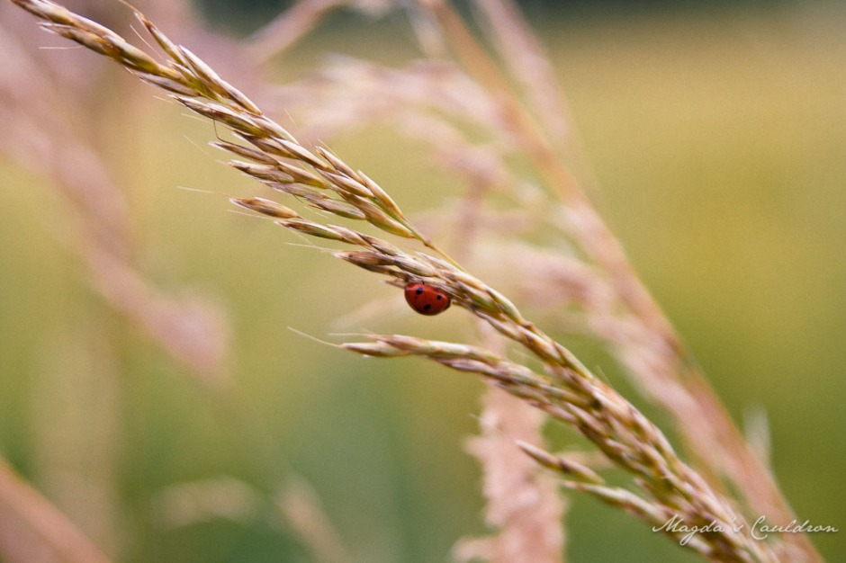ladybug on the grass