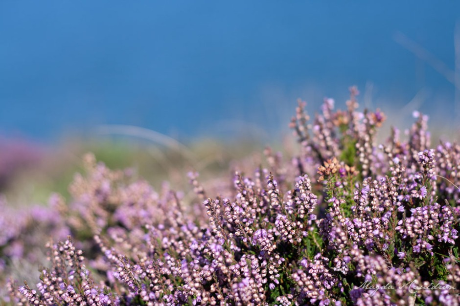 Heather in Howth