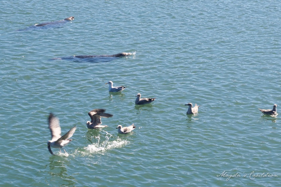 Seals and seagulls in Howth