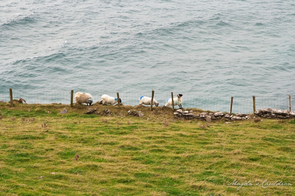Sheep at the edge