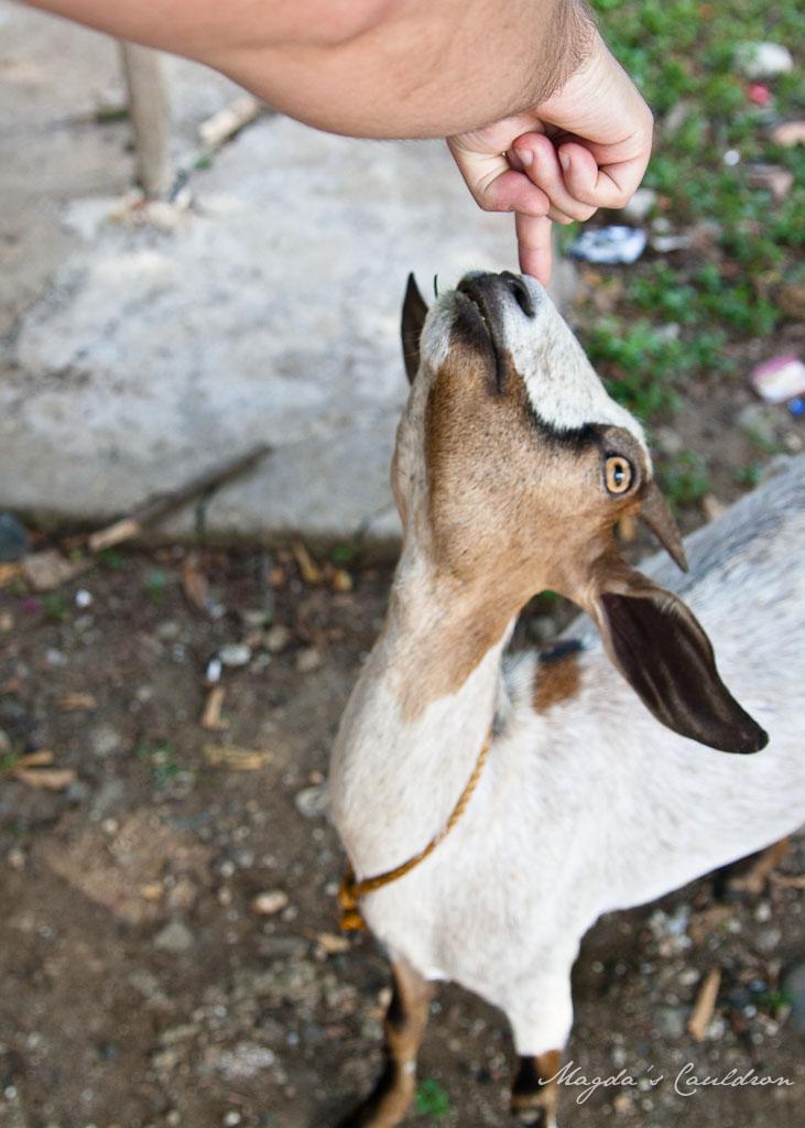 Goat in Philippines